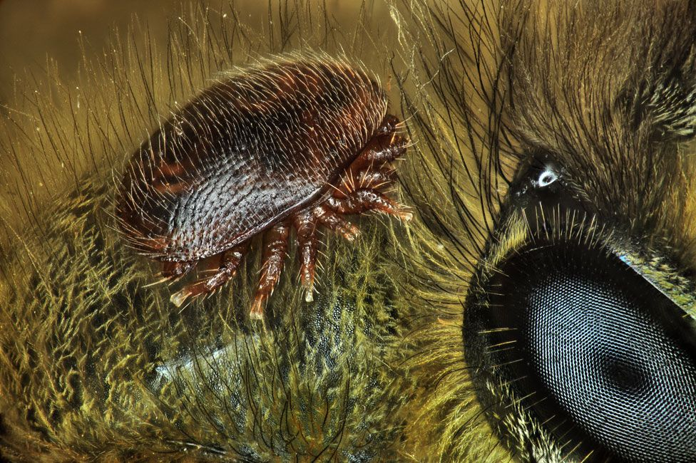 Un ácaro (Varroa destructor) sobre la parte posterior de una abeja (Apis mellifera)