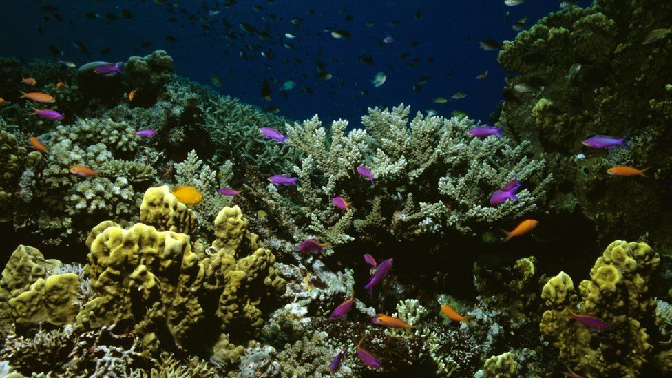 Coral garden and Yellow-striped fairy basslets in the Great Barrier Reef