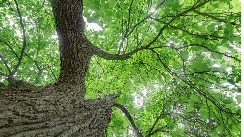Trees like Catalpa have environmental benefits