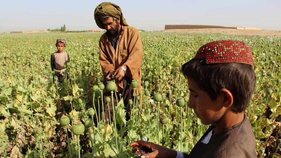 Afghan farmers harvest opium sap from a poppy field in the Gereshk district of Helmand on 11 April 2017
