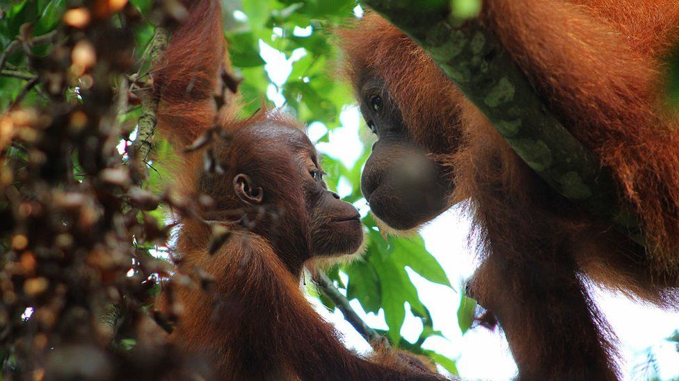 Sumatran Orangutans captured enjoying their day on the trees of Gunung Leuser National Park on May 18, 2016 in North Sumatra