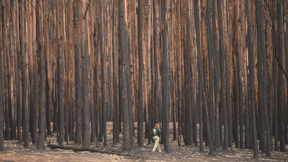 Animal rescuer walks among burnt-out forest in Kangaroo Island looking for injured wildlife