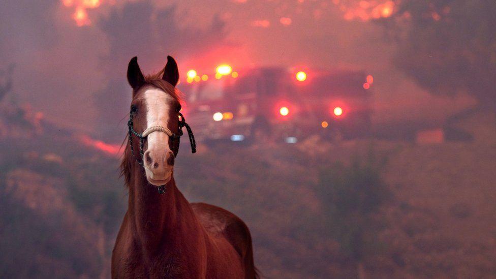 Лошадь во время пожара в Калифорнии