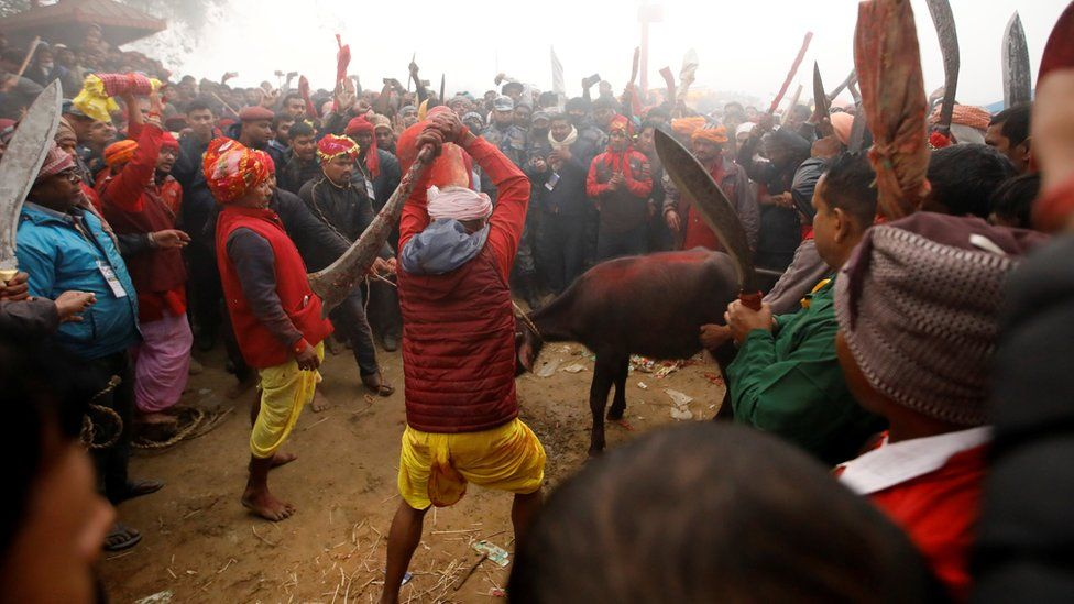 "A butcher swings his blade to sacrifice a buffalo as the sacrificial ceremony begins during the ""Gadhimai Mela"" festival held at Bariyarpur in Nepal December 3, 2019."