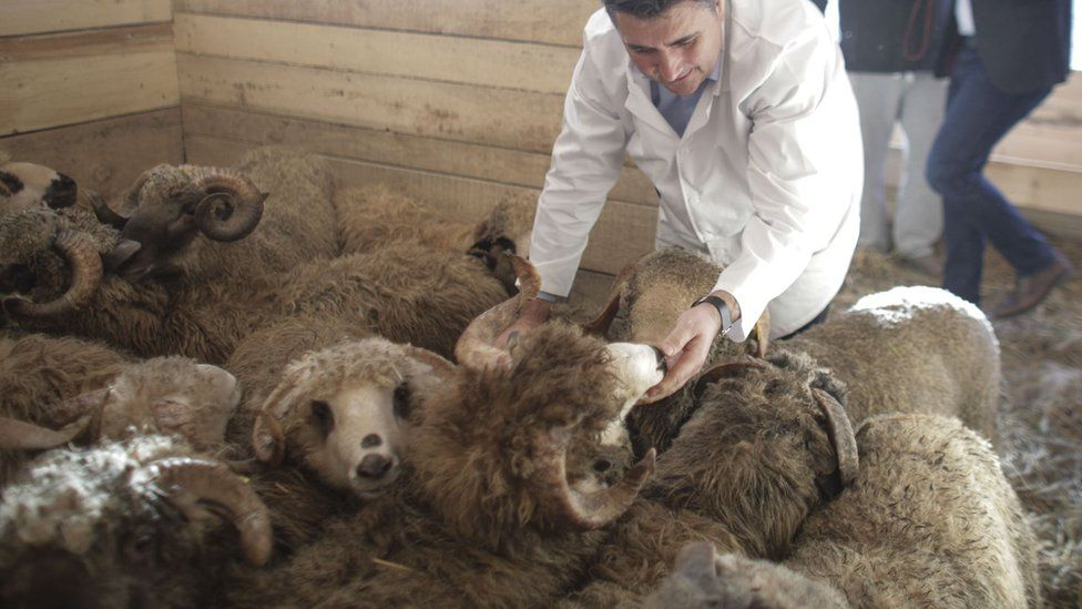 Rescued sheep being checked by a vet