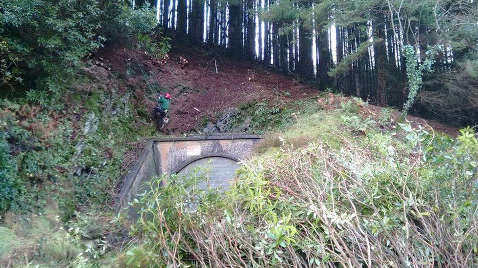 clearing rhodedendron in Trecwn