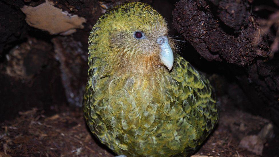 Sob risco de extinção, espécie de papagaio mais gorda do mundo tem recorde na reprodução e anima biólogos