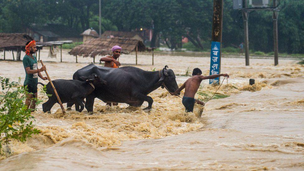Nepali residents move their buffalos across a flooded area at Birgunj Parsa district