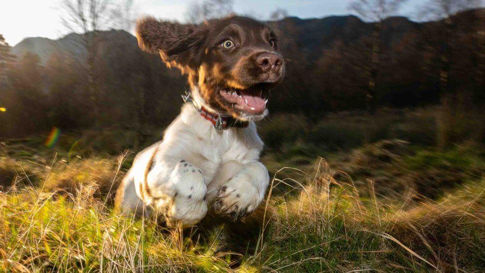 Harry as a puppy running