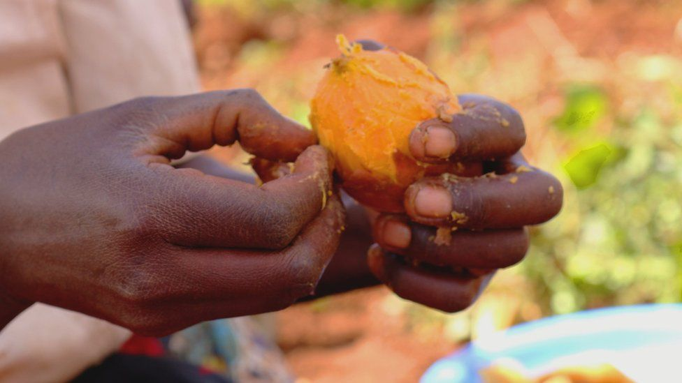 Preparing an orange-fleshed sweet potato (Image: S.Quinn/CIP)