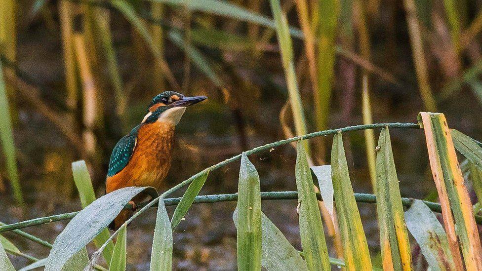 Kingfisher perching