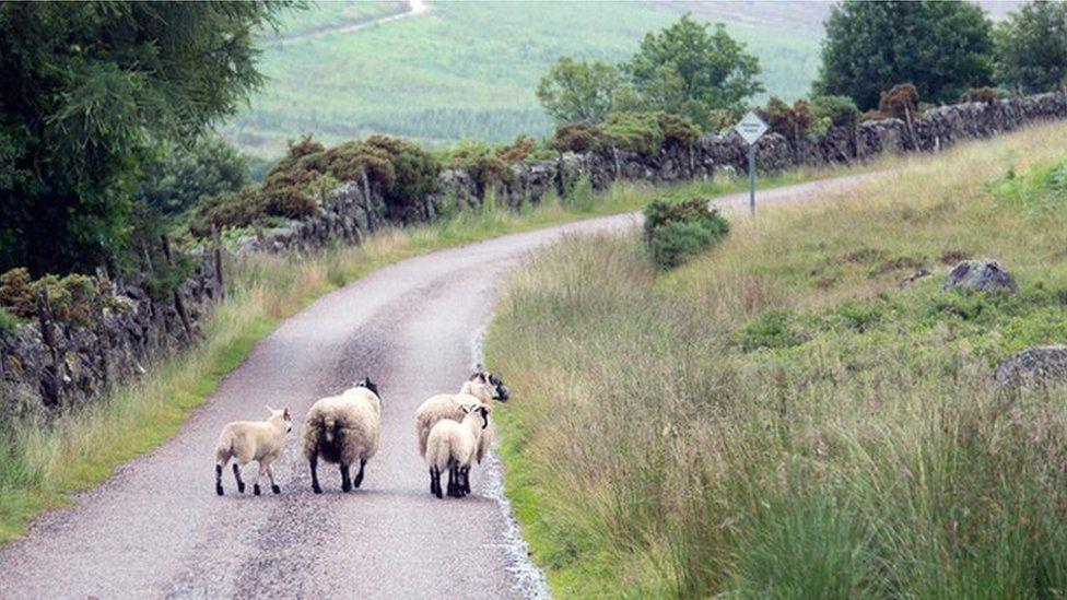 Sheep on Scottish road