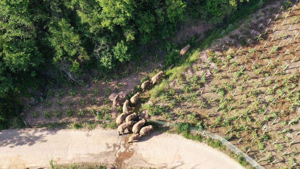 Image shows wild elephants wandering in Yunan