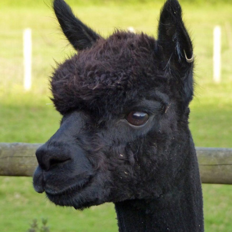 Geronimo the alpaca