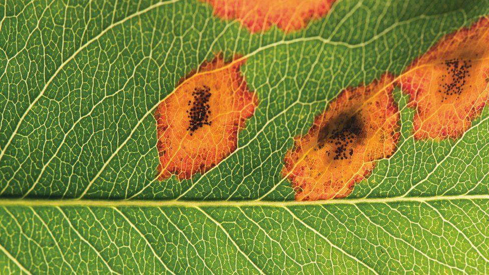 Rust gymosporangium