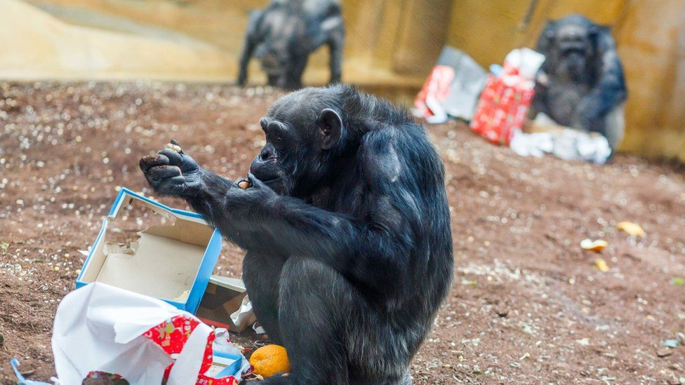 A chimpanzee unwraps a gift in a zoo. It's torn open some festive wrapping paper.