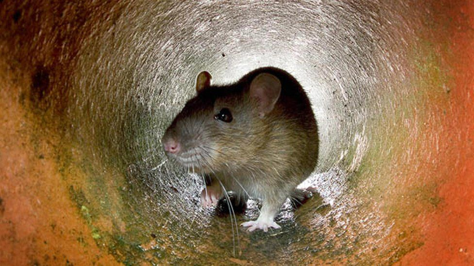 Rat in tunnel