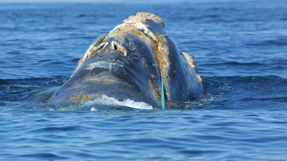 A rare North Atlantic right whale surfaces June 27, 2001 off the coast of Massachusetts.