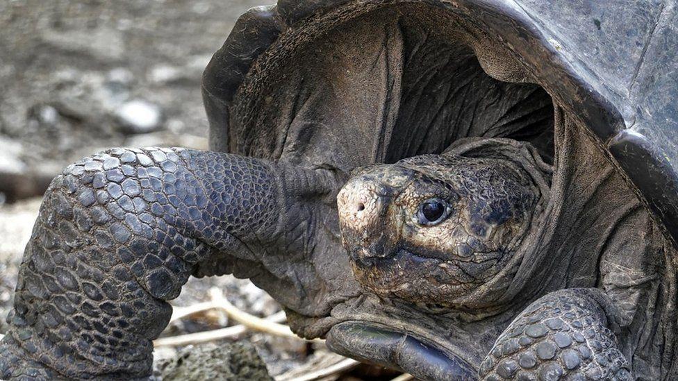 Un espécimen de la gigante tortuga de Galápagos, Chelonoidis phantasticus, que se creía extinta hace casi un siglo