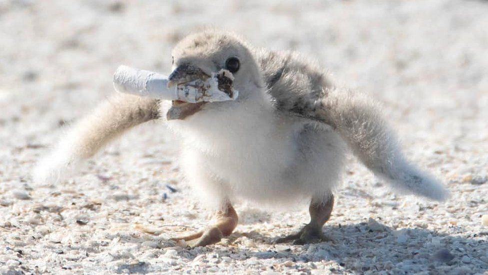 Black skimmer chick on Florida beach