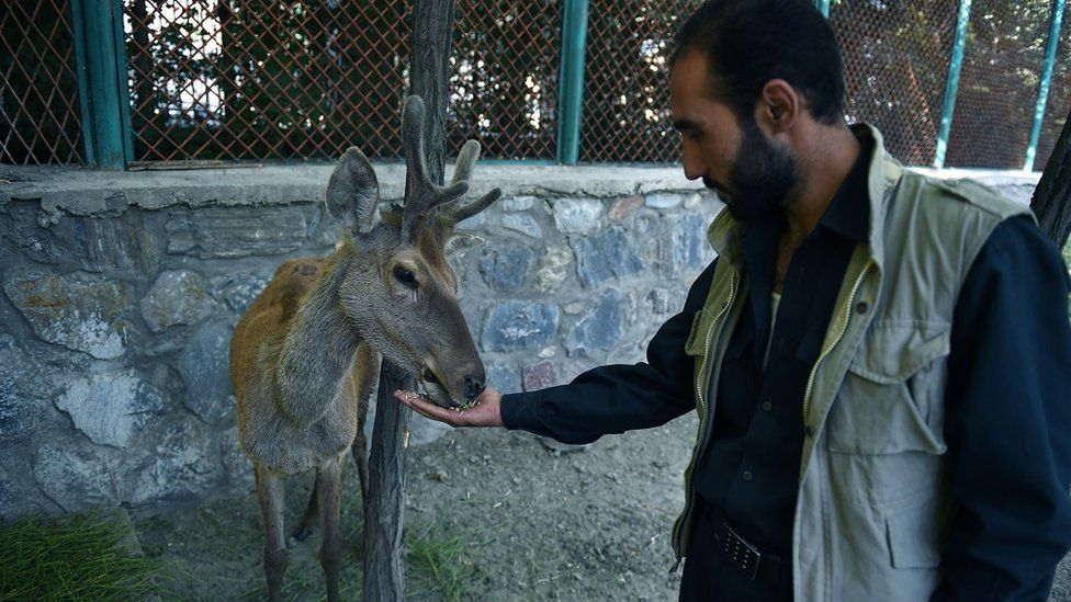 In this photograph taken on July 12, 2016, an Afghan zoo employee (R) feeds a deer in an enclosure at Kabul Zoo in Kabul.