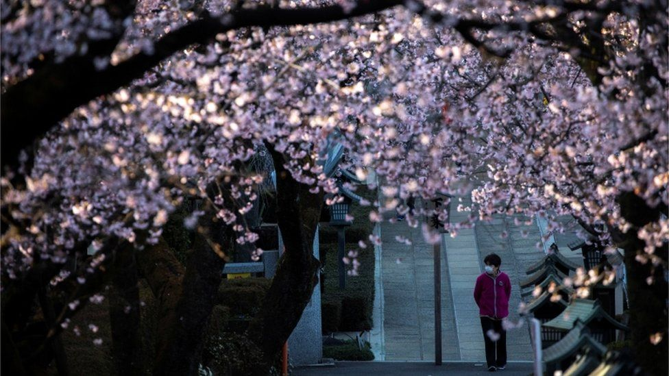 A cherry tree in blossom with a person wearing a mask in the background.
