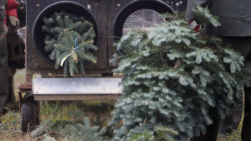 Christmas trees being netted for sale