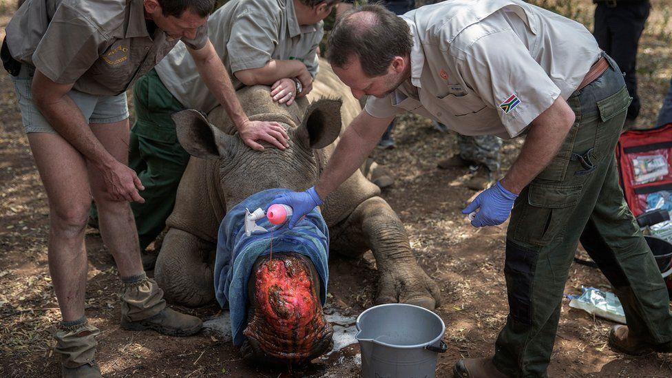 dehorned rhino is treated
