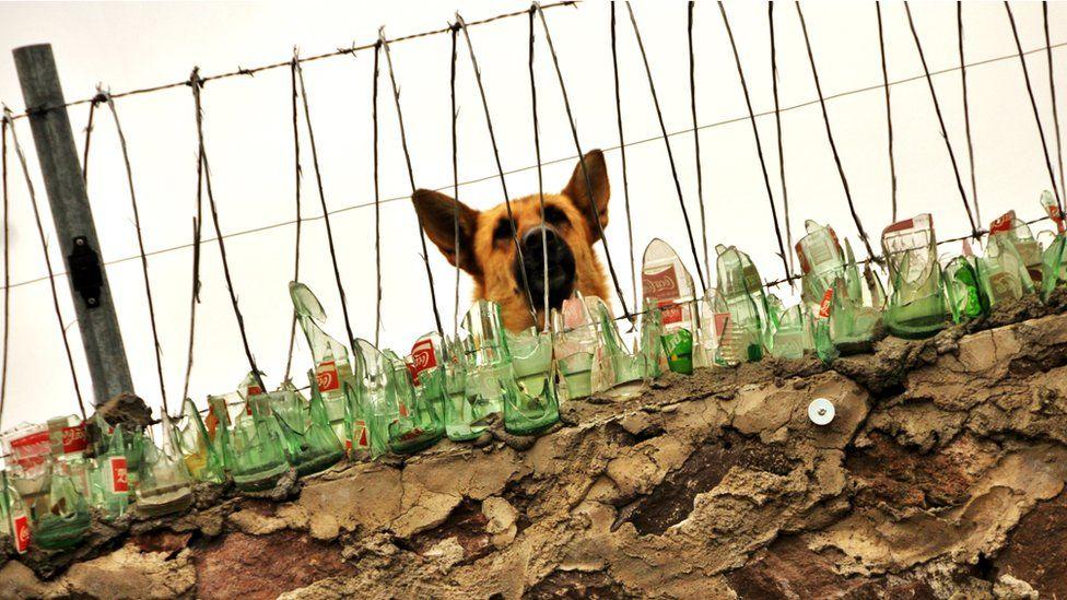 Guard dog behind a fence