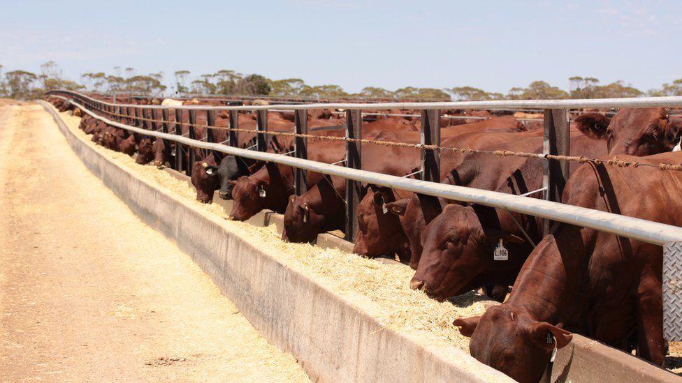 Santa Gertrudis steers