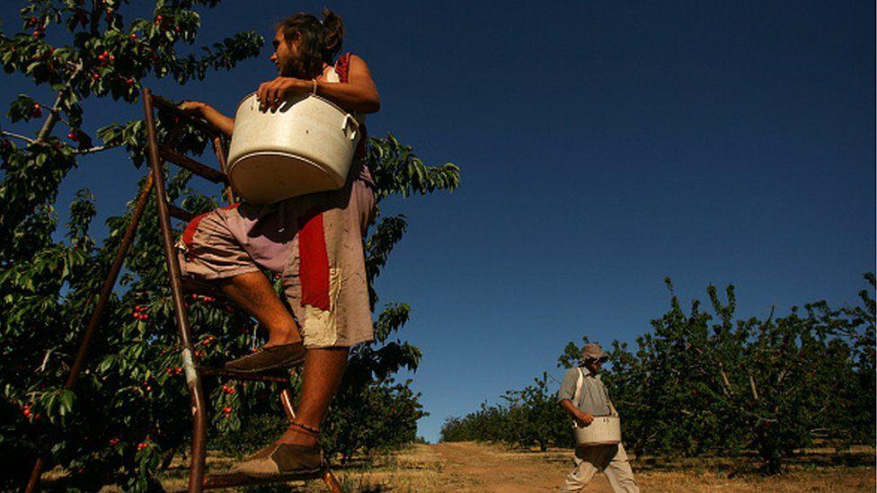 Cherry picking season begins on the Yarrawa cherry farm in Australia