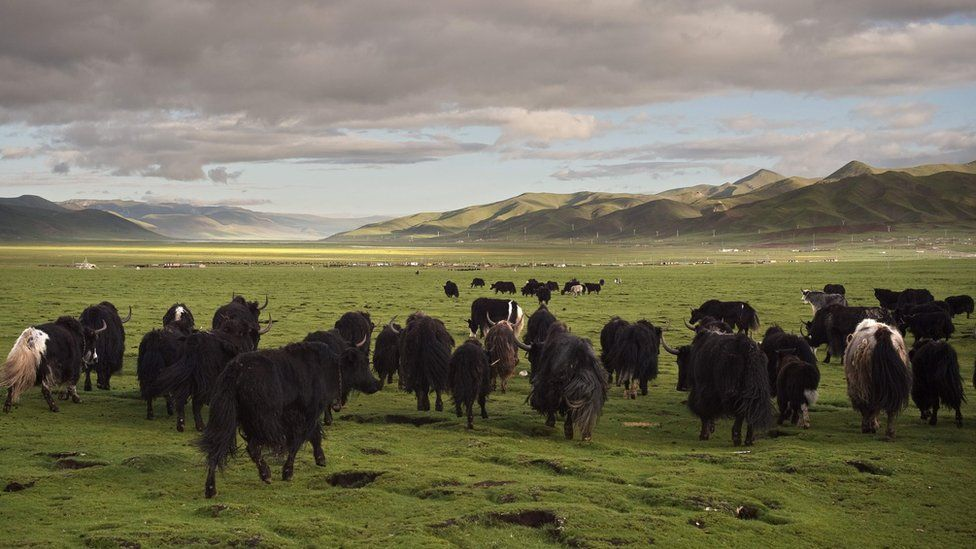 Yaks walk on the grasslands of the Tibetan Plateau in the Yushu Tibetan Autonomous Prefecture of Qinghai Province. Picture taken on 25 July 2016,