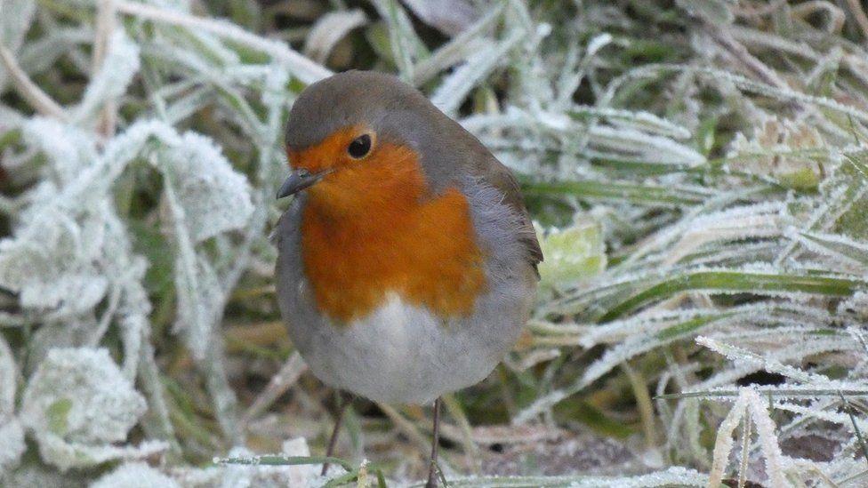 A robin in frosty grass