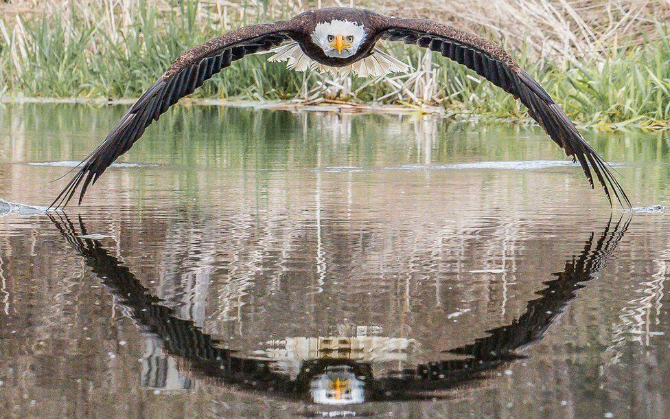 Bruce the bald eagle stares down photographer Steve Biro
