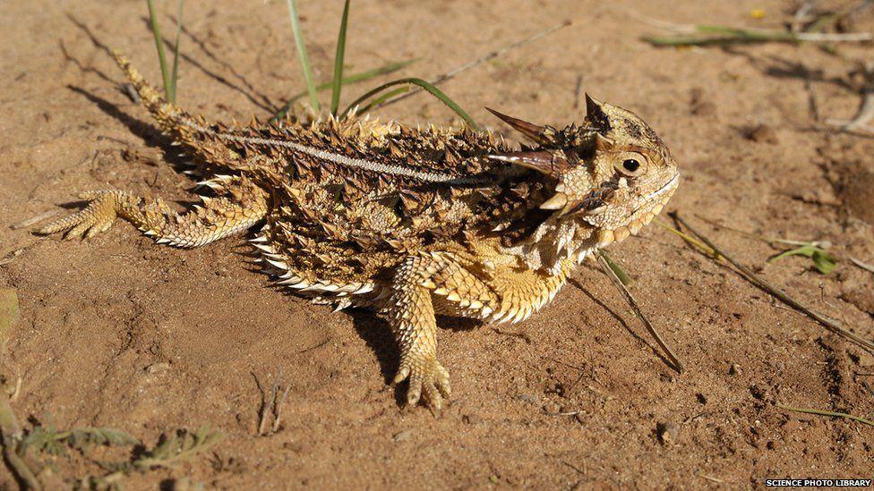 horned lizard on sand