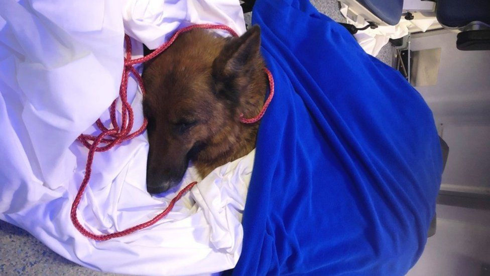 Rapunzel the dog lies on a hospital bed covered by a blue blanket.