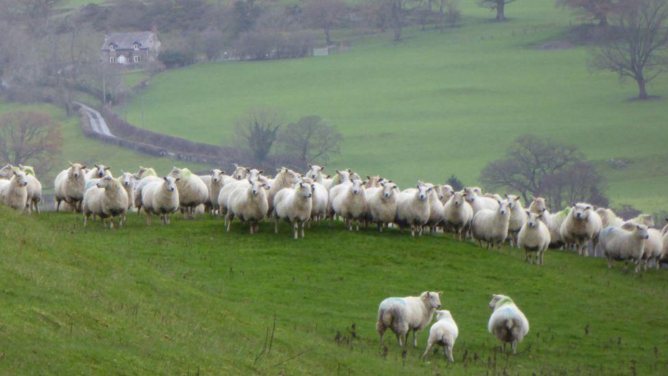 Sheep on hillside in Wales