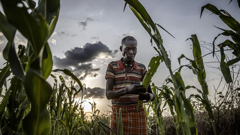 Turkana farmer Joseph Tirkwel asses the severe damage of his maize crops while hopper bands of Desert Locust ravage them in Napeikar, Turkana County, Kenya.