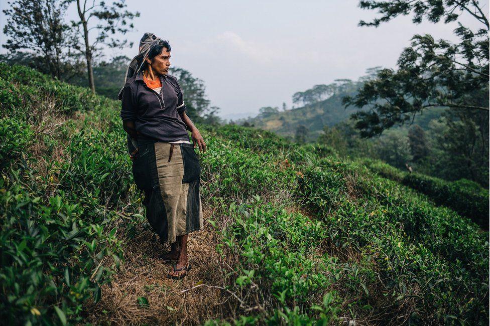 A tea plucker in a plantation field