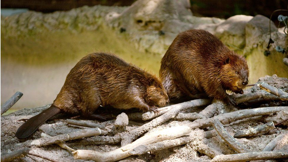 Two North American beavers at the Smithsonian National Zoo August 29, 2012 in Washington, D.C.