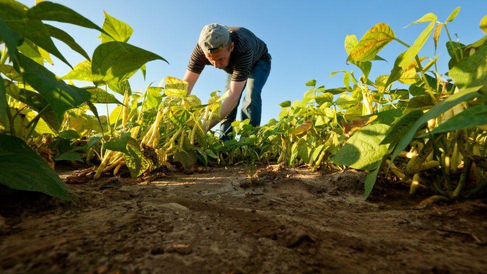 a worker picks beans in a field