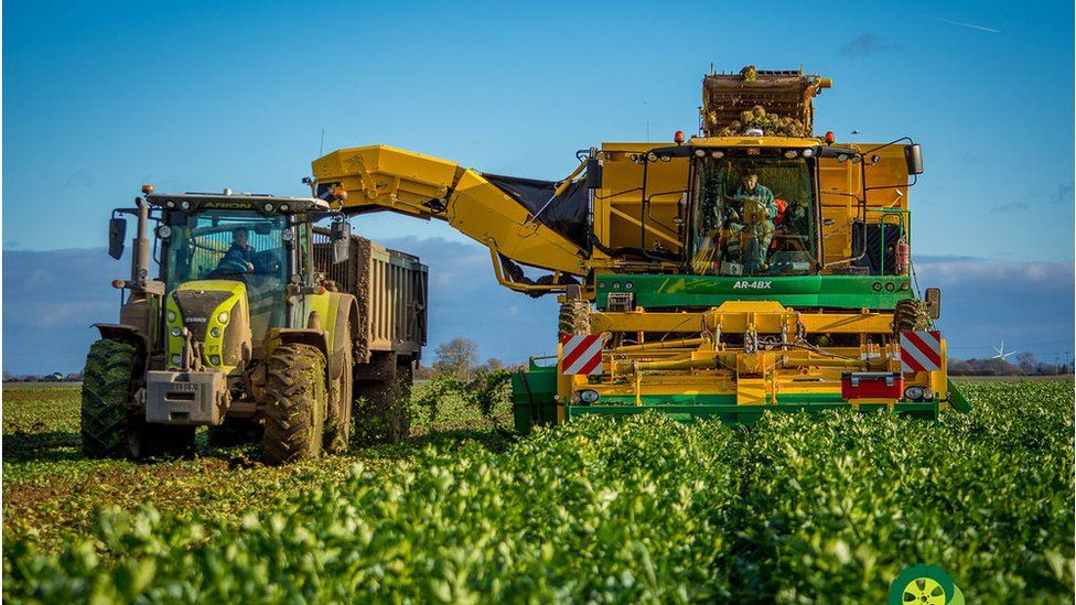 Celeriac being harvested in Lincolnshire
