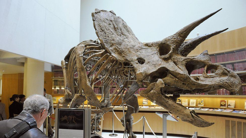 The skeleton of a Triceratops, with two horns protruding from its forehead and a large frill behind