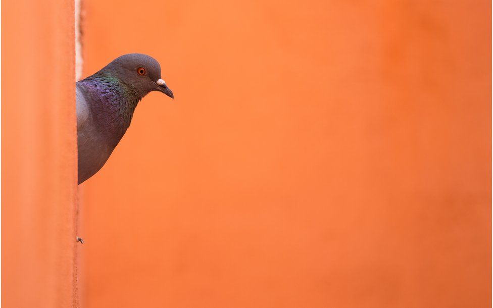 A pigeon is seen against an orange background