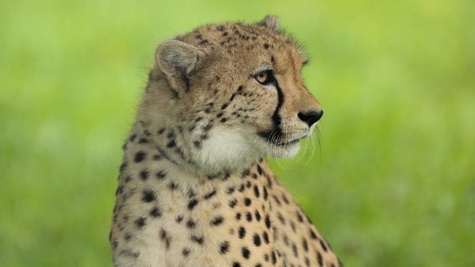 Saba the cheetah