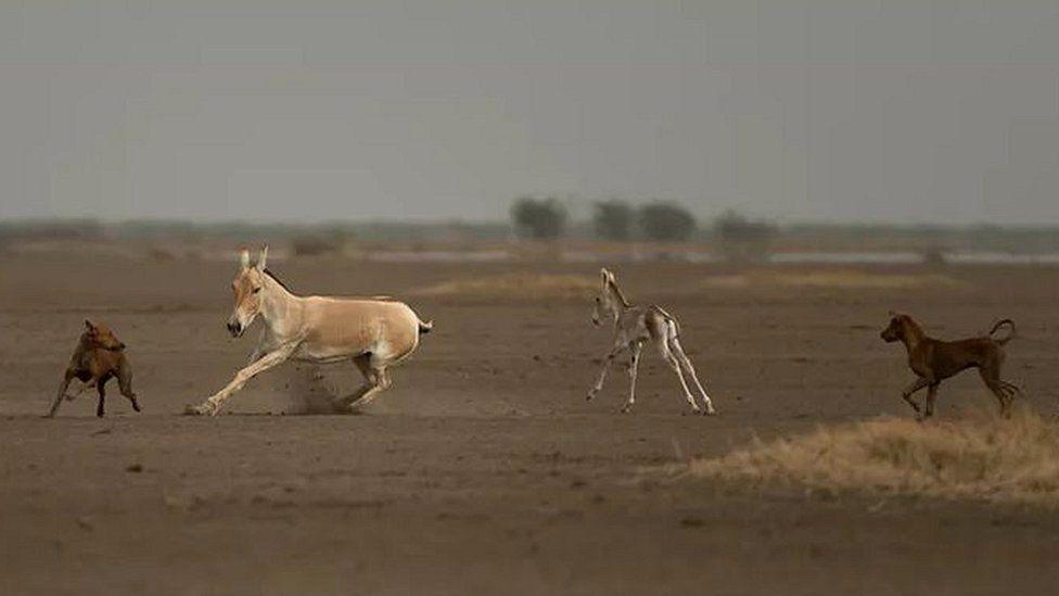 Dogs chasing wild horses (c) Kalyan Varma