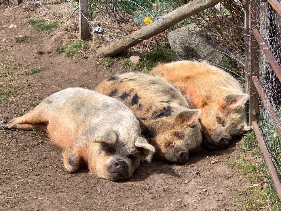 Sunbathing pigs