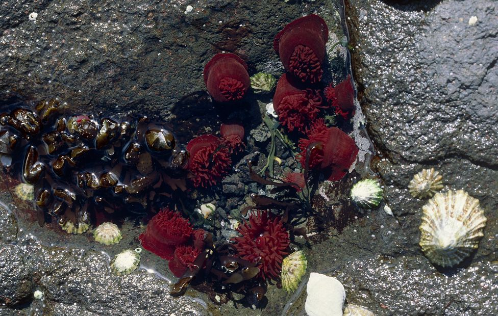 Half-opened beadlet anemones in a rock pool