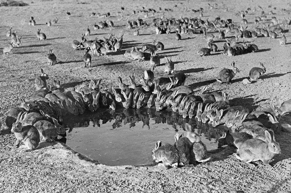 Mixomatosis, la enfermedad que el gobierno australiano importó de Uruguay para controlar una catastrófica plaga en los años 50