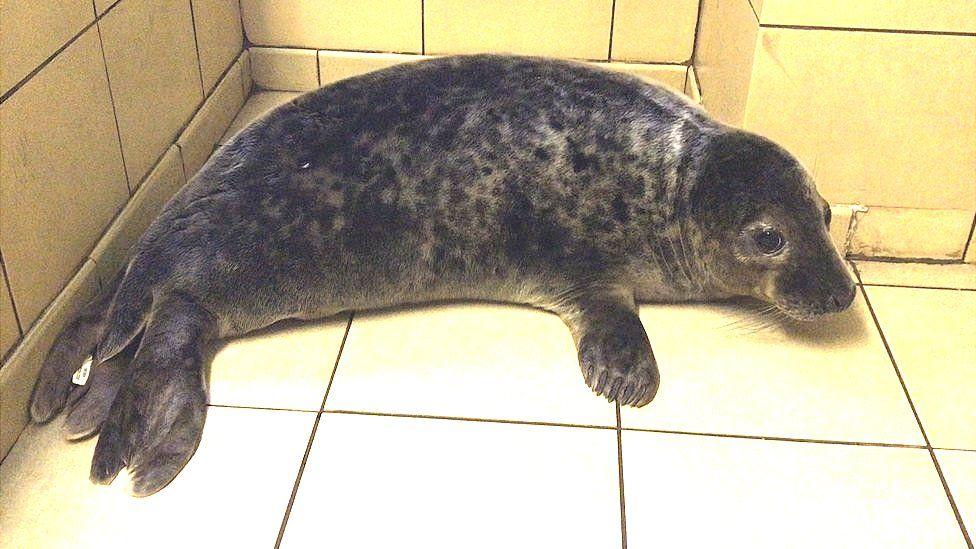 Seal pup Lord Faa